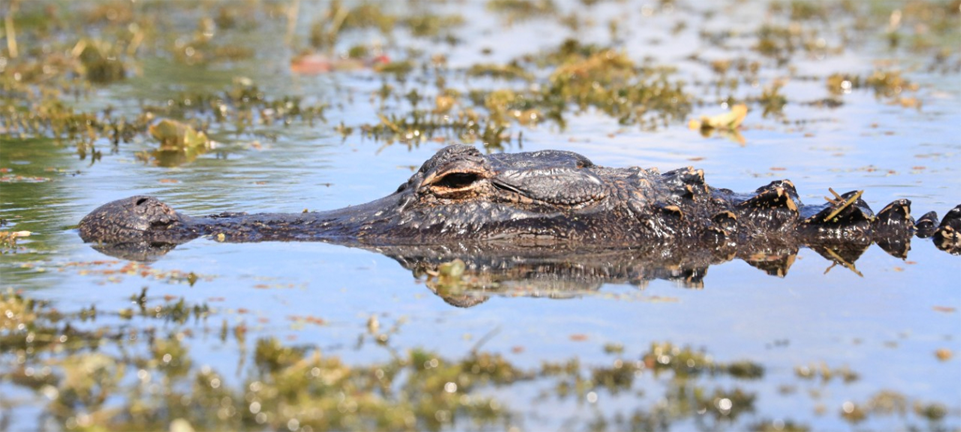 The American alligator (Alligator mississippiensis), sometimes referred to colloquially as a gator or common alligator, is a large crocodilian reptile native to the Southeastern United States, inhabiting freshwater wetlands, such as marshes and cypress swamps. Adult male American alligators measure 3.4 to 4.6 metres in length, and can weigh up to 453 kg. Females are usually smaller, measuring 2.6 to 3 metres in length.