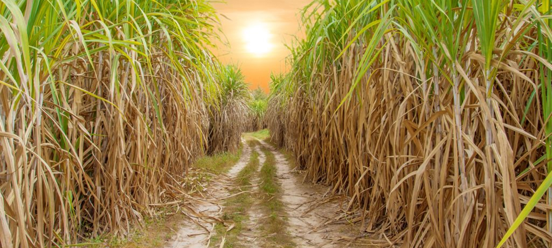 Over 62% of the world's sugar comes from sugarcane. Currently, sugarcane is planted on approximately 440,000 acres in the Everglades Agricultural Area (EAA), making it the most extensively grown row crop in Florida. Production is primarily on land along or near the southern half of Lake Okeechobee.